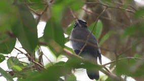 Πορφυρό σπάνιο πουλί Cochoa στην Ταϊλάνδη και τη Νοτιοανατολική Ασία φιλμ μικρού μήκους