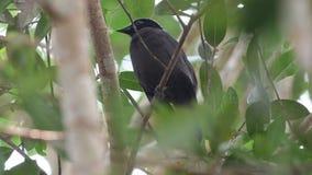 Πορφυρό σπάνιο πουλί Cochoa στην Ταϊλάνδη και τη Νοτιοανατολική Ασία απόθεμα βίντεο