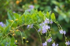 Πορφυρό τροπικό λουλούδι Duranta Στοκ Φωτογραφία