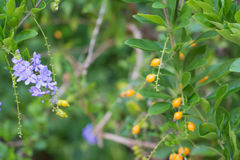 Πορφυρό τροπικό λουλούδι Duranta Στοκ φωτογραφία με δικαίωμα ελεύθερης χρήσης