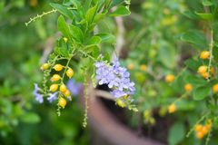 Πορφυρό τροπικό λουλούδι Duranta Στοκ Εικόνες