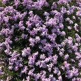 πορφυρό υπόβαθρο λουλουδιών subulata phlox στοκ εικόνα