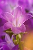 Πορφυρό υπόβαθρο λουλουδιών Στοκ Φωτογραφία
