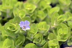 Πορφυρό υδρόβιο λουλούδι Στοκ Εικόνες
