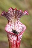πορφυρό φυτό σταμνών μυγών σά&rh Στοκ Εικόνα