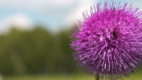 Πορφυρό χνουδωτό λουλούδι στο υπόβαθρο φύσης απόθεμα βίντεο