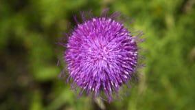 Πορφυρό χνουδωτό λουλούδι απόθεμα βίντεο