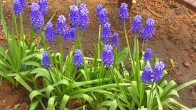 Πορφυρό χρώμα Muscari Primula απόθεμα βίντεο
