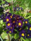 Πορφυρό όμορφο λουλούδι Στοκ φωτογραφίες με δικαίωμα ελεύθερης χρήσης