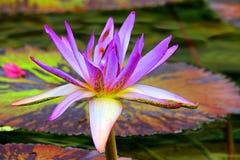 πορφυρό ύδωρ κρίνων λουλ&omicro Στοκ Εικόνα