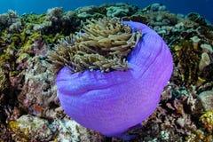 Πορφυρό Anemone και κοραλλιογενής ύφαλος Στοκ φωτογραφία με δικαίωμα ελεύθερης χρήσης