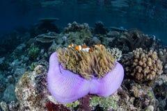 Πορφυρό Anemone και ψεύτικο Clownfish Στοκ Εικόνα