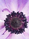 Πορφυρό anemone λουλουδιών Στοκ Φωτογραφία