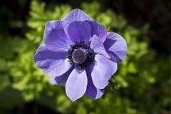 Πορφυρό Anemone στο λουλούδι Στοκ φωτογραφία με δικαίωμα ελεύθερης χρήσης