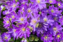 Πορφυρό anemone την άνοιξη Στοκ εικόνες με δικαίωμα ελεύθερης χρήσης