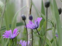 Πορφυρό anemone Στοκ Εικόνα