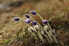 Πορφυρό anemone Στοκ Εικόνες