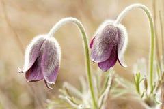 Πορφυρό anemone Στοκ εικόνες με δικαίωμα ελεύθερης χρήσης