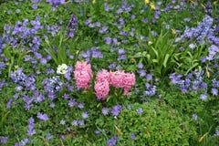 Πορφυρό Anemones με τους ρόδινους υάκινθους Στοκ Εικόνα