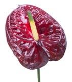 Πορφυρό anthurium (λουλούδι φλαμίγκο) Στοκ φωτογραφία με δικαίωμα ελεύθερης χρήσης