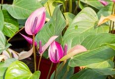 Πορφυρό Anthurium λουλούδι Στοκ Εικόνες