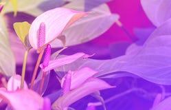 Πορφυρό Anthurium λουλούδι Στοκ Εικόνα