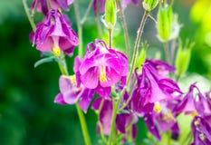 Πορφυρό aquilegia λουλουδιών αναδρομικά φωτισμένο, μακροεντολή Στοκ Εικόνα