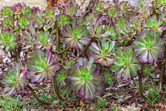 Πορφυρό arboreum Aeonium σε πράσινο με το πορφυρό tipsภ¡ αποκαλούμενο επίσης Στοκ φωτογραφίες με δικαίωμα ελεύθερης χρήσης