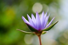 Πορφυρό blurlight Lotus, πρωί στοκ εικόνες με δικαίωμα ελεύθερης χρήσης