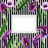 Πορφυρό callas Watercolor λουλούδι Floral βοτανικό λουλούδι Τετράγωνο διακοσμήσεων συνόρων πλαισίων ελεύθερη απεικόνιση δικαιώματος