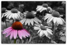 Πορφυρό cornflower Στοκ Εικόνες