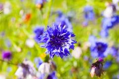 Πορφυρό cornflower Στοκ εικόνες με δικαίωμα ελεύθερης χρήσης
