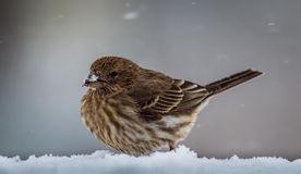 Πορφυρό Finch να ταΐσει με έναν σπόρο ηλίανθων Στοκ εικόνες με δικαίωμα ελεύθερης χρήσης