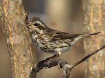 Πορφυρό Finch στοκ εικόνα