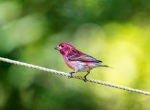 Πορφυρό Finch Στοκ Εικόνες