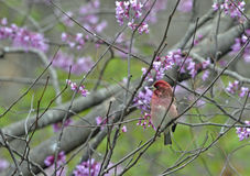 Πορφυρό Finch 2 Στοκ Φωτογραφίες