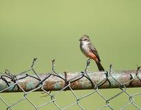 Πορφυρό Flycatcher Pyrocephalus θηλυκό rubinus Στοκ φωτογραφία με δικαίωμα ελεύθερης χρήσης