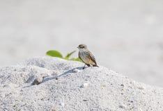 Πορφυρό Flycatcher Pyrocephalus rubinus που σκαρφαλώνει σε έναν βράχο στην παραλία Στοκ Εικόνες