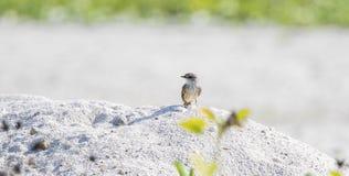 Πορφυρό Flycatcher Pyrocephalus rubinus που σκαρφαλώνει σε έναν βράχο στην παραλία Στοκ εικόνα με δικαίωμα ελεύθερης χρήσης