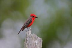 Πορφυρό flycatcher, rubinus Pyrocephalus Στοκ Φωτογραφία