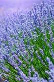Πορφυρό lavender στη γαλλική Προβηγκία Στοκ Εικόνα