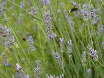 Πορφυρό lavender στον κήπο Στοκ Φωτογραφίες