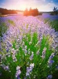 Πορφυρό lavender στο σούρουπο Στοκ εικόνα με δικαίωμα ελεύθερης χρήσης