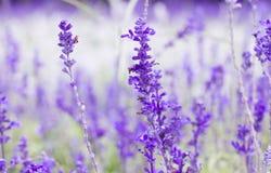 Πορφυρό lavenders λουλούδι Στοκ φωτογραφία με δικαίωμα ελεύθερης χρήσης