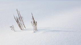 Πορφυρό Loosestrife Στοκ φωτογραφία με δικαίωμα ελεύθερης χρήσης