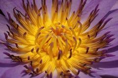 Πορφυρό Lotus άνθισης στοκ φωτογραφίες