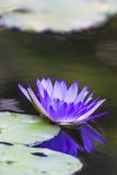 Πορφυρό Lotus Στοκ εικόνες με δικαίωμα ελεύθερης χρήσης