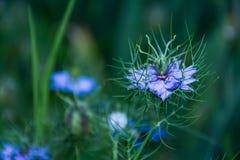 Πορφυρό Nigella λουλούδι άνοιξη damascena άγριο Στοκ Εικόνες