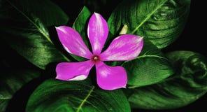 Πορφυρό Oleander στοκ εικόνες με δικαίωμα ελεύθερης χρήσης