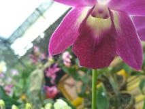 Πορφυρό orchid Στοκ Φωτογραφία